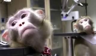 Испытания вакцины от коронавируса провалились: макаки болеют, люди теряют сознание