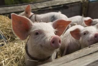 Китайские ученые выявили у свиней вирус, который грозит человечеству новой глобальной пандемией