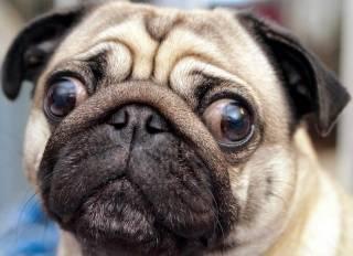 Американцы рассказали, как правильно «считать» возраст собак