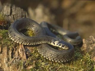 Под Киевом ядовитая змея напала на ребенка, который пас гусей