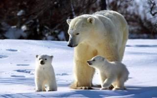 Канадцы заявили, что белые медведи в Арктике могут почти полностью исчезнуть уже к концу этого века