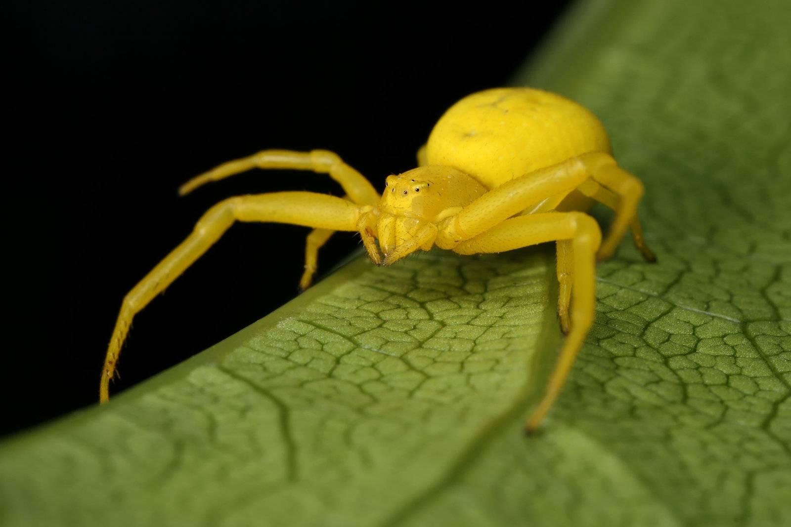желтый паук. Украина
