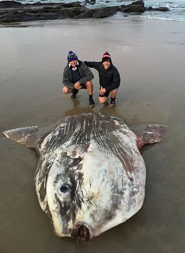 Рыба-солнце на берегу в Австралии
