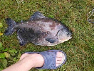 В Киеве рыбак поймал необычную рыбу с человеческими зубами