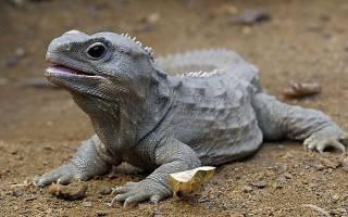 «Ходили по нашей планете вместе с динозаврами»: в Новой Зеландии найдена уникальная ящерица