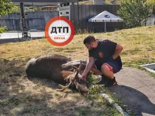 В результате цепочки нелепых случайностей на одной из улиц Киева погиб лось