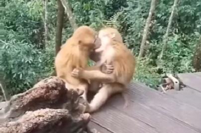 Китайский доктор показал смешное видео целующихся обезьян
