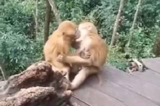 Забавное видео целующихся обезьян взорвало соцсети