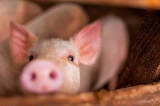 Медики узнали о свиньях кое-что необычное