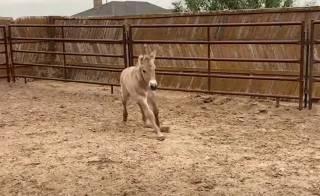 Ученые показали видео клонированной лошади Пржевальского