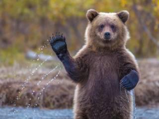 В Чернобыльской зоне впервые за сто лет замечен медведь