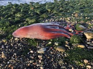 Рыбак нашел на берегу штата Вашингтон очень странное существо