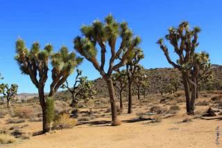 В США могут исчезнуть знаменитые деревья