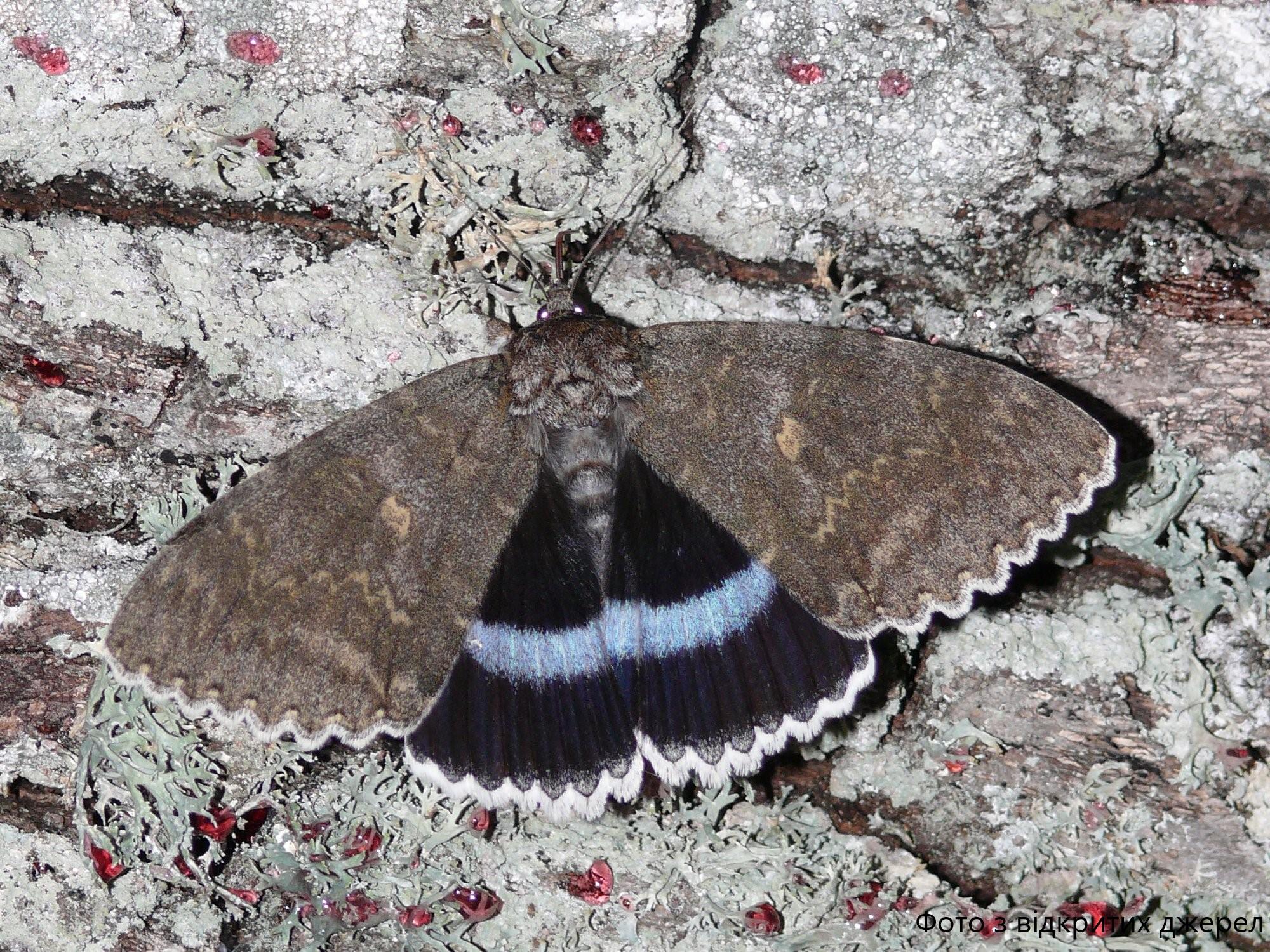 Голубая ленточница Catocala fraxini в Чернобыльской зоне отчуждения