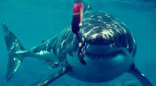 В Австралии зафиксирован резкий рост беспричинных убийств людей акулами