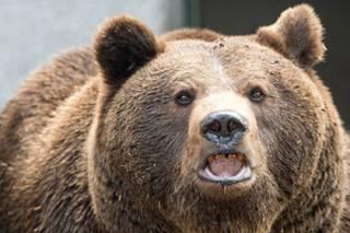 Голодные медведи начали массово нападать на японцев