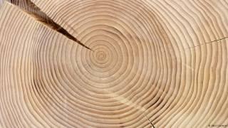 Деревья сохранили следы четырех взорвавшихся звезд в окрестностях Земли