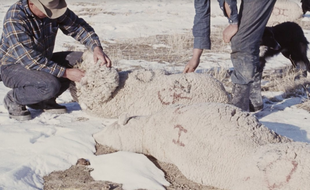 полигон Дагвэй эксперимент овцы