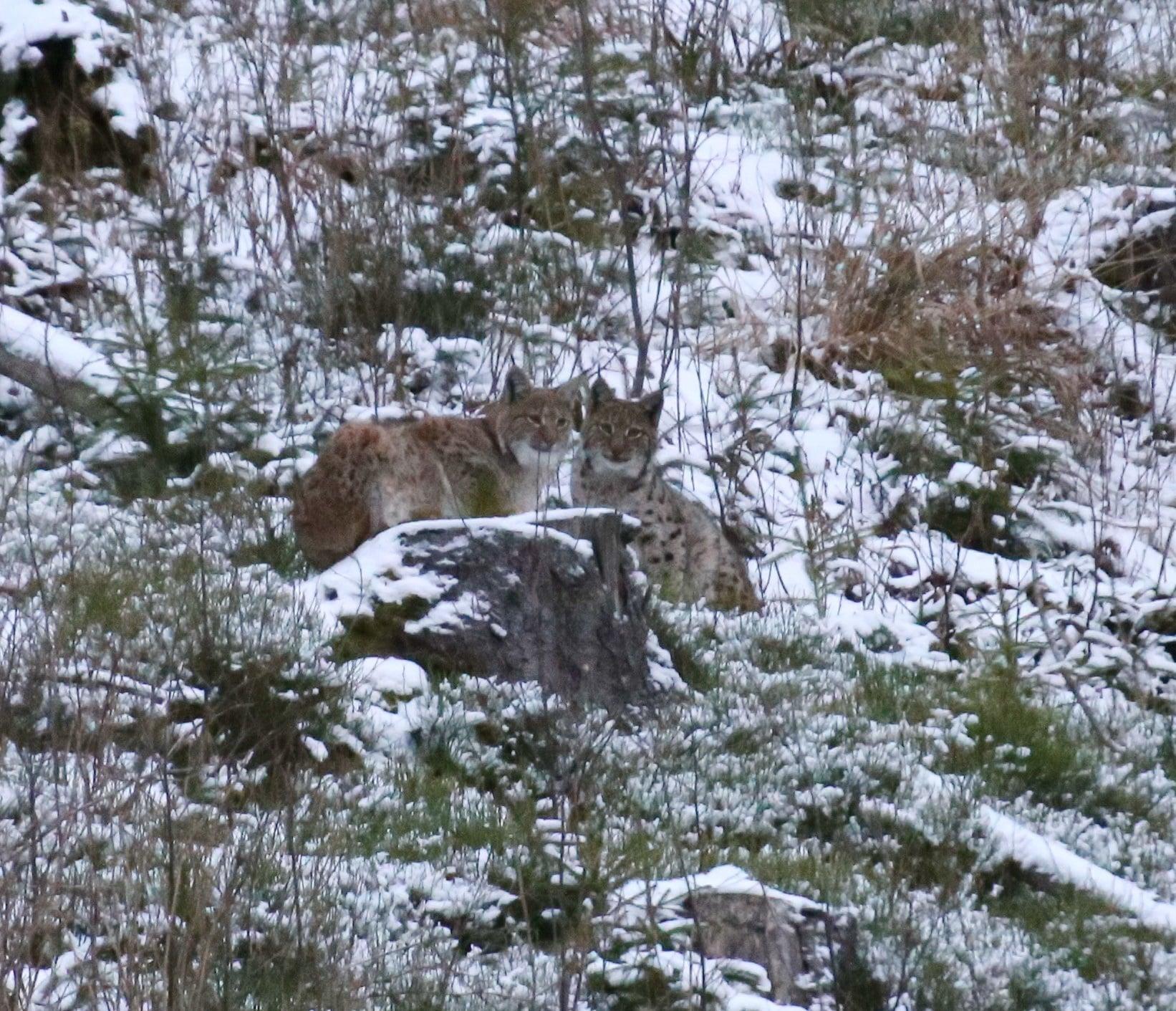 Редкая краснокнижная рысь в горах Карпат