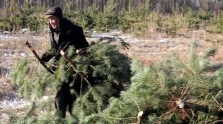 Под Новый год браконьеры вырубили почти 2 тыс. елок