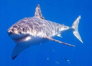 Число акул в мире начало сокращаться
