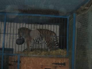 Голодный тигр не оставил ни одного шанса работнику зоопарка на Черниговщине