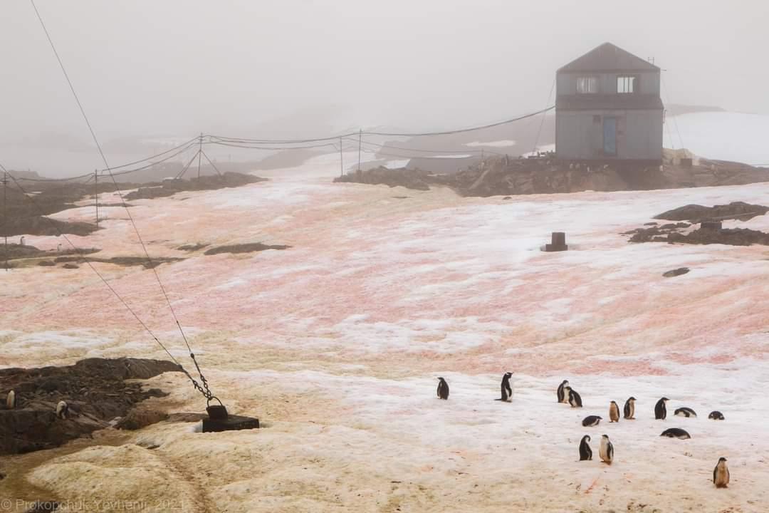 """Розовый снег на антарктической станции """"Академик Вернадский"""""""
