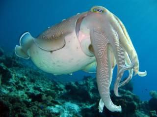 Ученые узнали о каракатицах кое-что невероятное