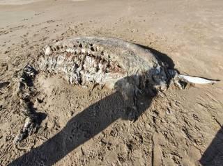 На берег Уэльса выбросило останки неизвестного огромного существа