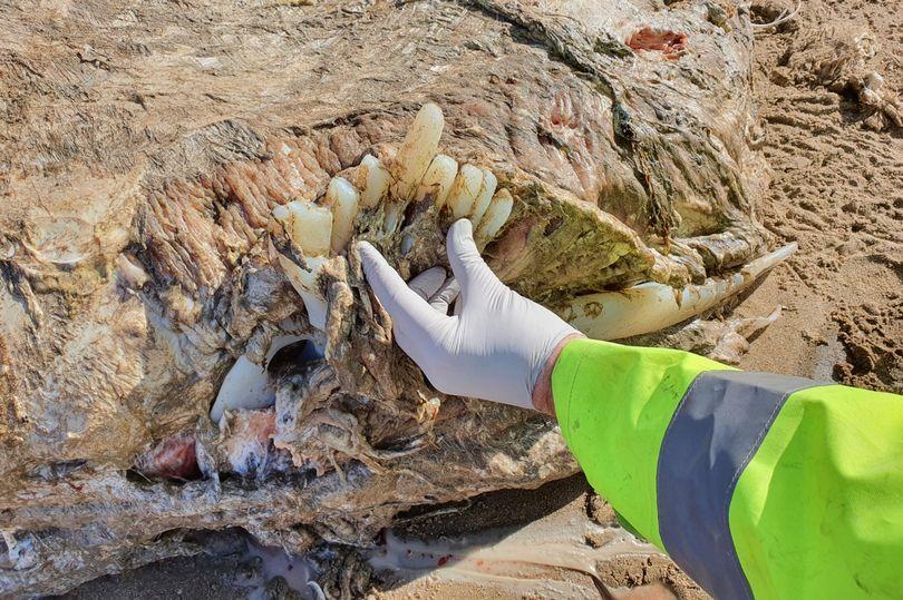 Туша неизвестного морского животного, найденная на берегу в Уэльсе