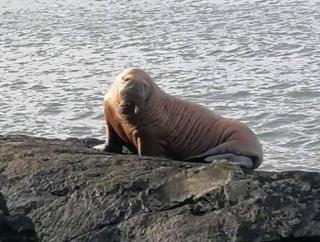 Появилось видео моржа, который на льдине приплыл из Арктики в Ирландию