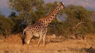 Ученые выяснили о жирафах кое-что странное