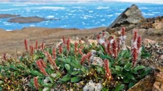 По прогнозам ученых, Арктика скоро может снова позеленеть и зацвести