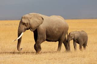 Как оказалось, африканские слоны могут исчезнуть