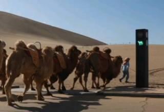 Появилось видео первого в мире верблюжьего светофора