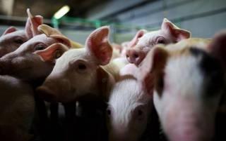 На Буковине из-за чумы уничтожат более 20 тысяч свиней