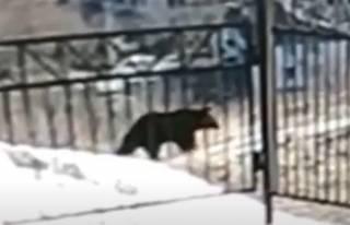 Появилось видео, как в одну из российских школ забрел медвежонок