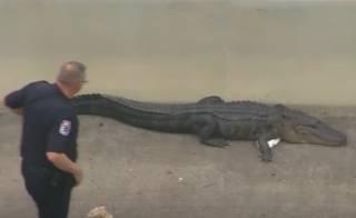 Гигантский аллигатор «захватил» мост в США