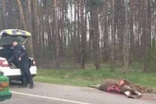 На Житомирской трассе в ДТП погиб лось