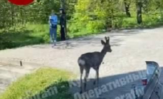 Появилось видео, как возле одной из станций киевского метро гулял олененок