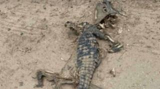 На популярном курорте Азовского моря найден мертвый крокодил