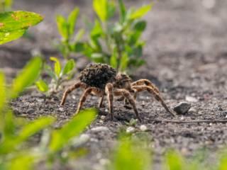 Жителей Каменского терроризируют тарантулы