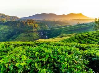 Выявлено влияние коронавируса на стоимость чая