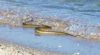 Названы популярные украинские курорты, которые страдают от нашествия змей