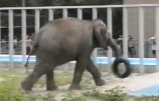 В Харькове умерла легендарная слониха Тэнди