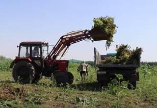 Полиция показала видео уничтожения гигантского урожая конопли