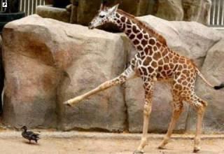 Ученые узнали о жирафах кое-что крайне любопытное