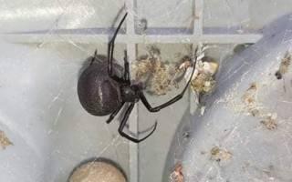 На Одесщине мужчина обнаружил в своем дворе одного из самых ядовитых пауков в мире