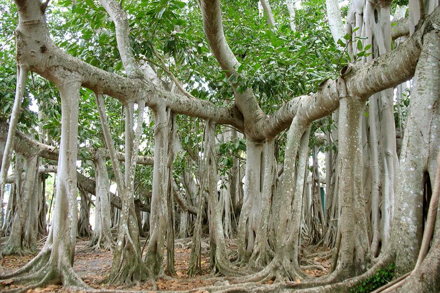 А это продолжение Красивые и необычные деревья Баньян Banyan Фикус